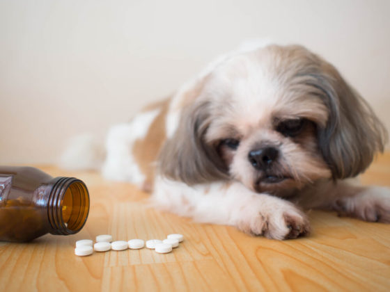 Sick dog - White medicine pills spilling out of bottle on wooden floor with blurred cute Shih tzu dog background. Pet health care, veterinary drugs and treatments, Benadryl for dogs concept. Selective focus.