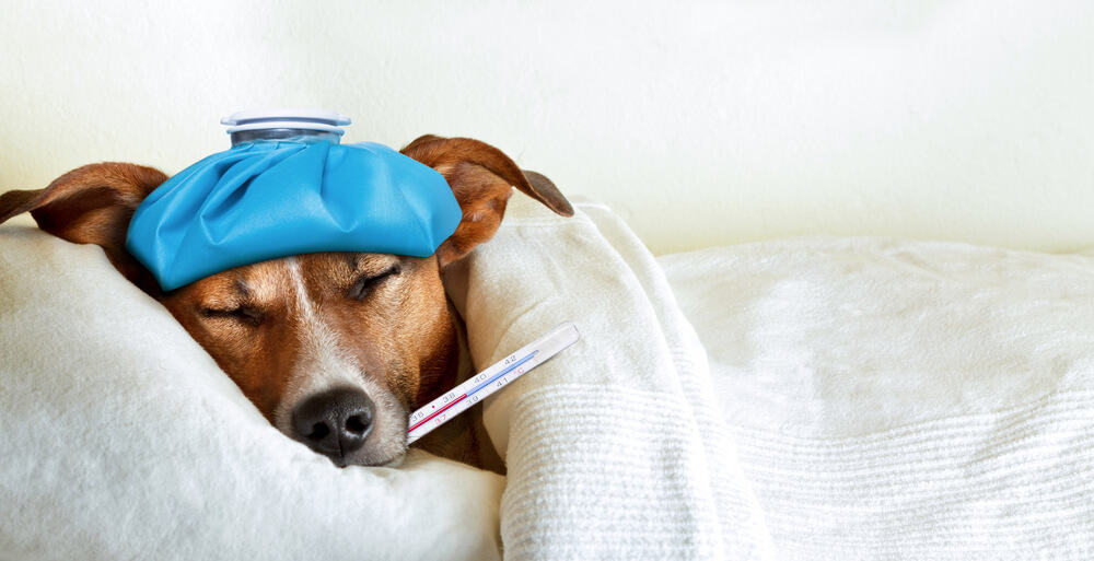 jack russell dog sleeping in bed with high fever temperature, ice bag on head, thermometer in mouth, covered by a blanket; canine coronavirus disease CCOV concept