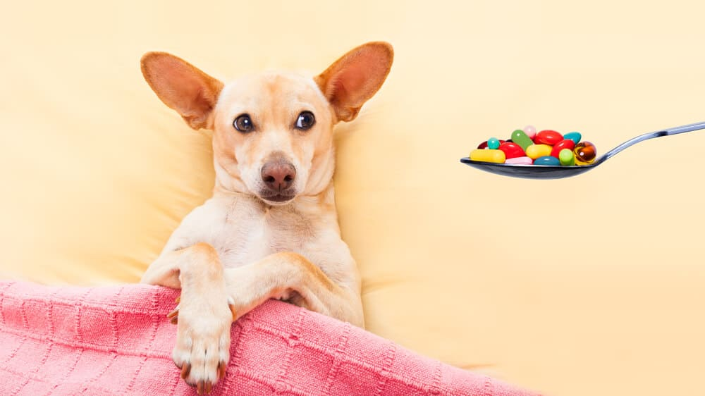 A small dog rests in bed, offered a spoonful of pills. Gabapentin for dogs concept.