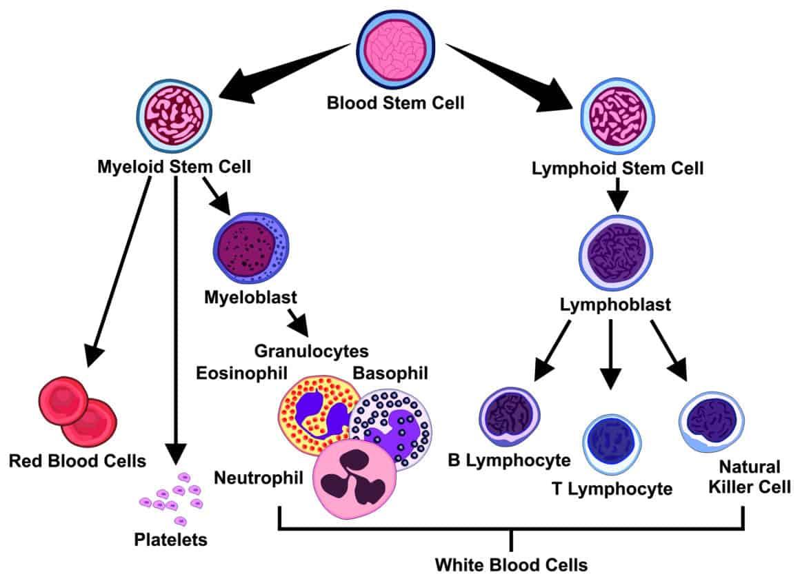 Vector Types of Blood Cells stem myeloid lymphoid lymphoblast lymphocyte natural killer cell myeloblast granulocytes eosinophil basophil neutrophil platelets red white medical hematology education