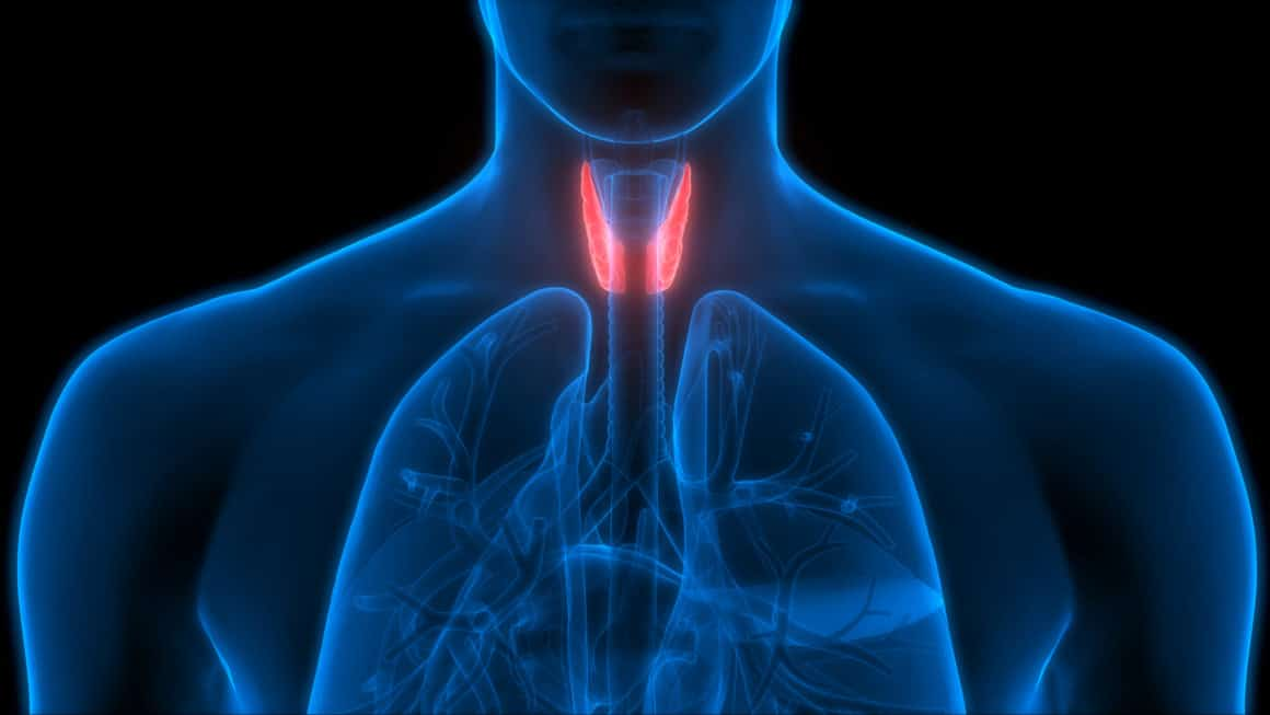 Human Body Glands Anatomy (Thyroid Gland). 3D