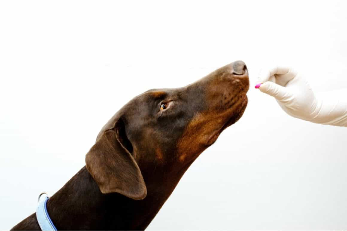 Brown Doberman being given Famotidine