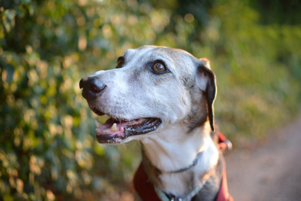 An older white and brown dog smiling.