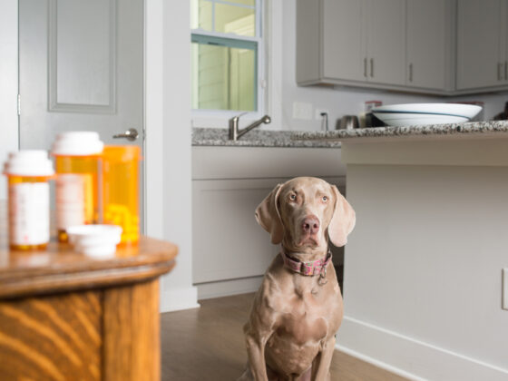 A dog waiting in the kitchen while staring at pill bottles on the table.