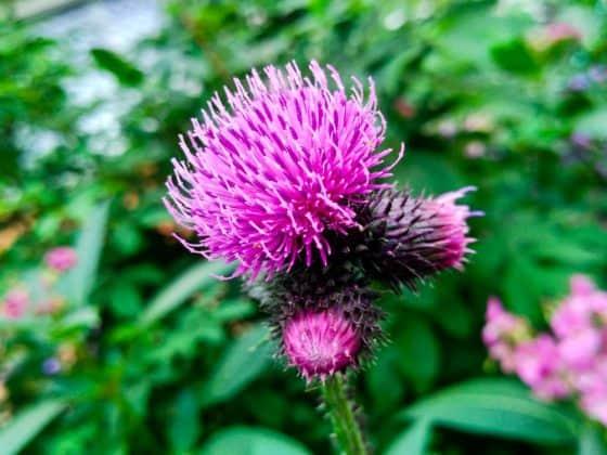 A purple burdock flower with green leafy stems.
