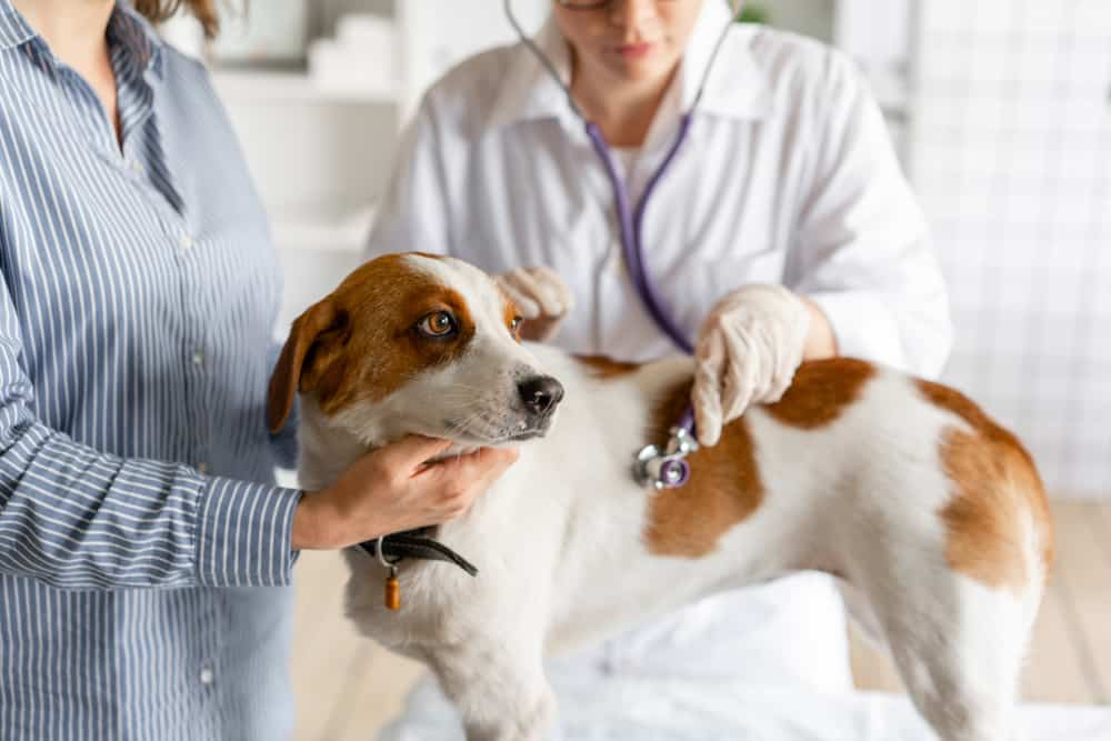 A white and orange dog at a veterinarian's office.