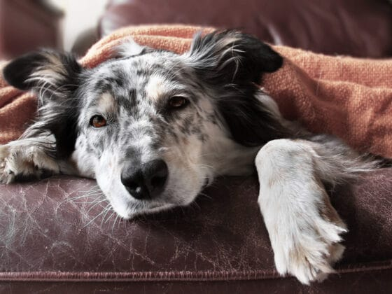 A black and white dog laying down on a brown couch and sleeping under an orange blanket.