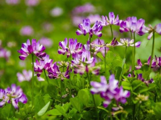Purple astragalus flowers.