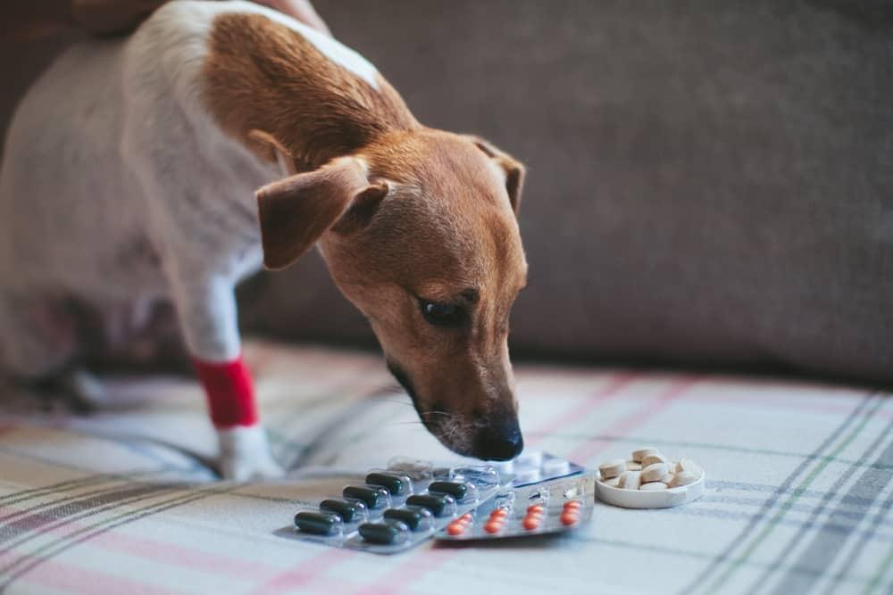 A sick Jack Russel terrier sniffing pills.