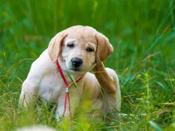 A golden retriever puppy scratching fleas behind his ears.
