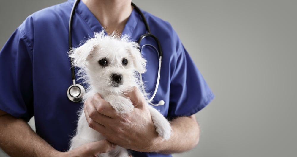 A veterinarian holding a small white dog.
