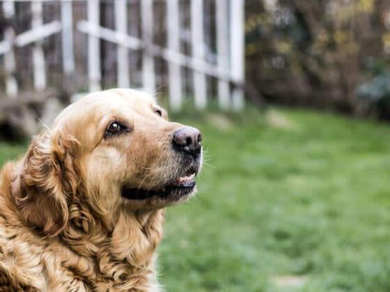 An old golden retriever standing in front of a white fence outside.