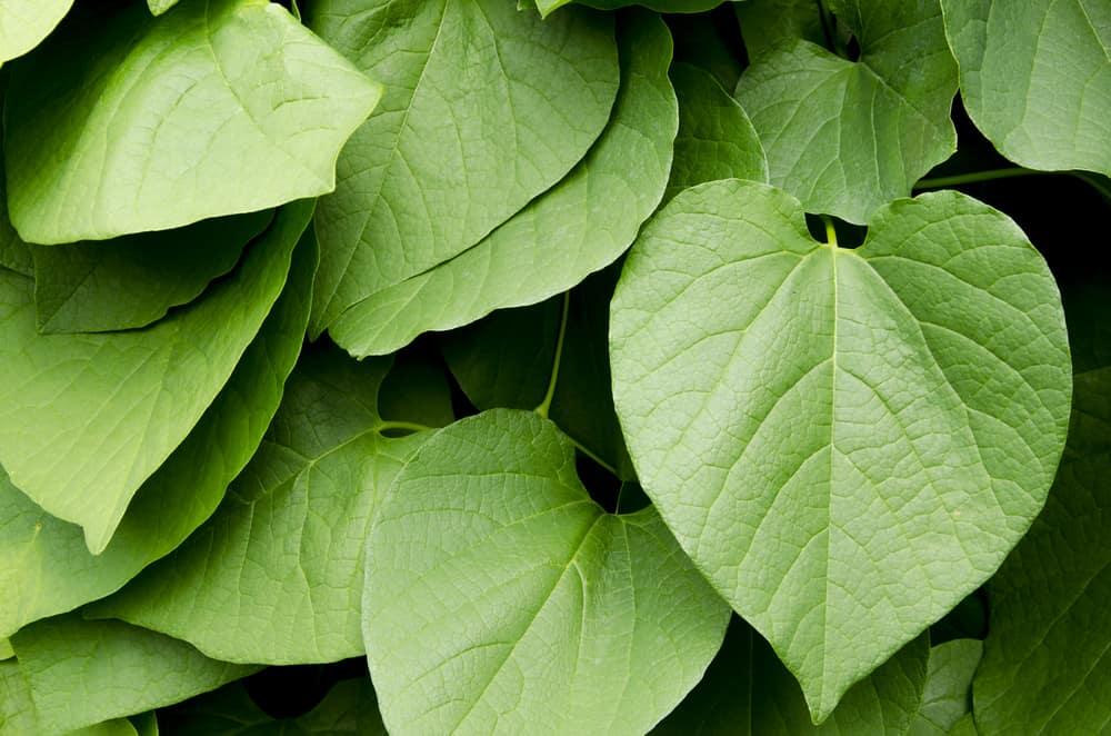 Green kava leaves.