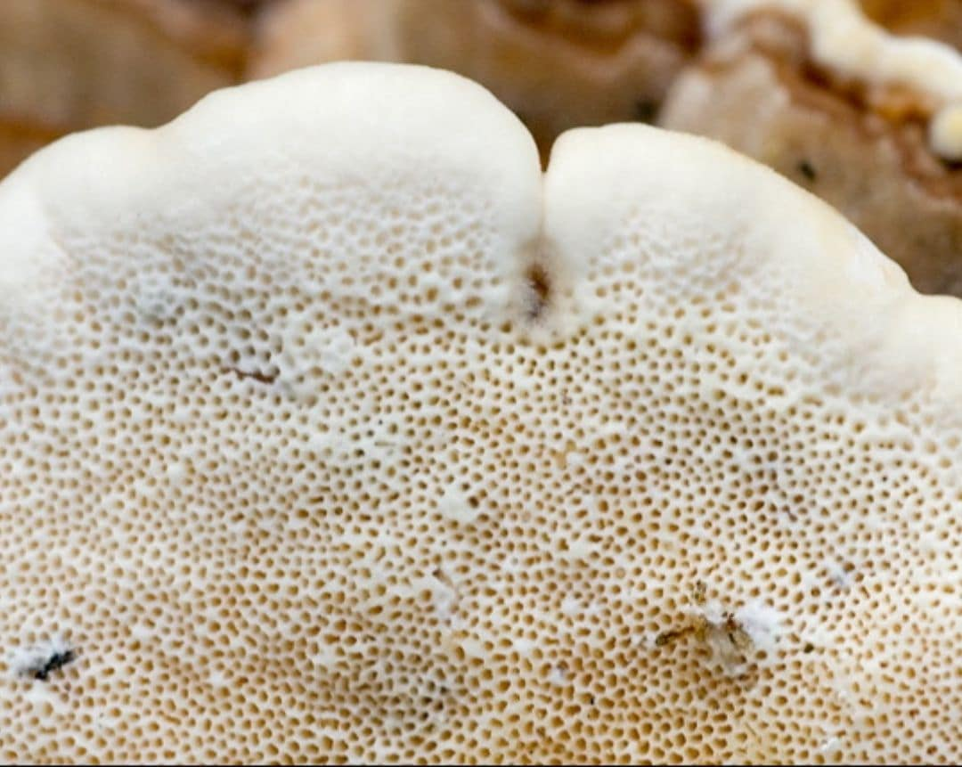 Turkey Tail Mushroom Pores