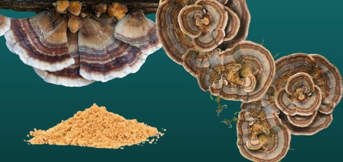 Turkey Tail Mushrooms Benefits